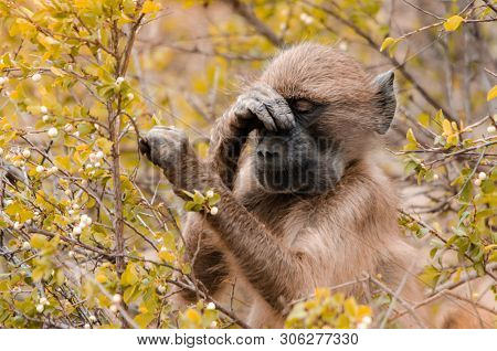 A Baboon (papio Ursinus) In The Bushes, With A Paw On It's Nose, As If Frustrated. Kruger National P