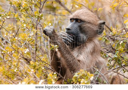 A Cape Baboon (papio Ursinus) Picks At Bushy Leaves In The Kruger National Park, South Africa.