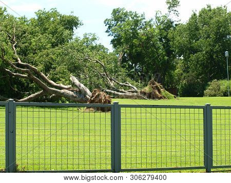 Two Massive Trees On An Estate Are Taken Down By The Storm Winds. Here, Its A Waiting List To Remove