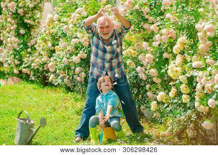 Gardening - Grandfather Gardener In Sunny Garden Planting Roses. Gardener In The Garden. Senior Man