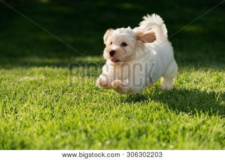 Cheerful Little Havanese Puppy Running On A Sunny Grassy Meadow