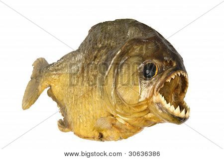 Red Belly Piranha with mouth open wide on white background