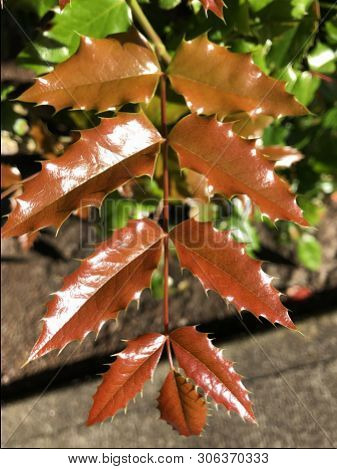 Nascent Fresh Looking Shiny Red Leaves Getting Chlorophyll To Convert Them To Green