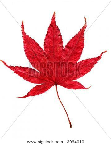 Maple Leaf Isolated On White Background