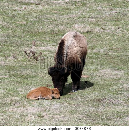 Bison Mother Nuzzling Baby