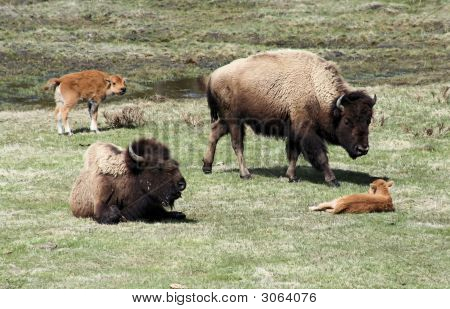 Bison Mothers And Babies