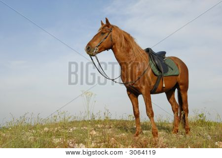 portrait of a beautiful brown stallion attentive in a field poster