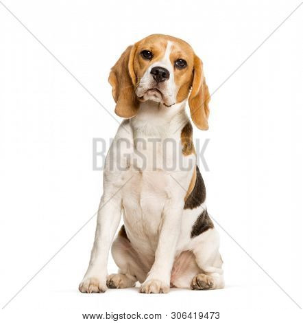 Beagles dog sitting against white background