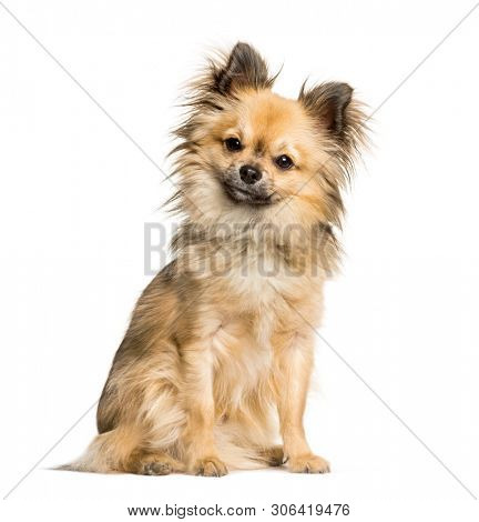 Chi-chi, mixed breed Chinese Crested Dog and Chihuahua sitting against white background