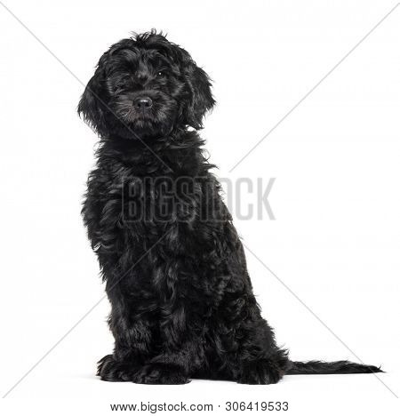 Mixed-breed labradoodle sitting against white background