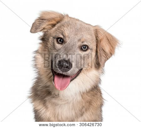 Panting Mixed-breed looking at camera against white background