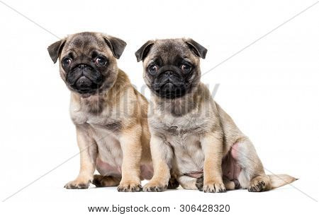 Pug Puppy sitting against white background
