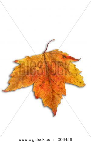 Fall Leaf Over White