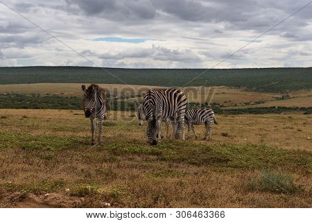 Beautifully Striped Zebras Wandering Around In Addo Elephant Park, South Africa