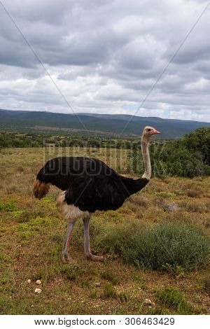 Common Ostrich Wandering On The Savannas Of Addo Elephant Park, South Africa