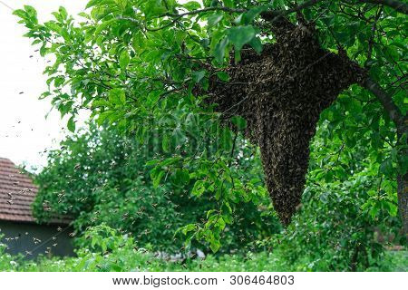 Swarming Bees. Formation Of A New Colony Family Bees. Bees That Can Fly At Some Point Fly Out Of The