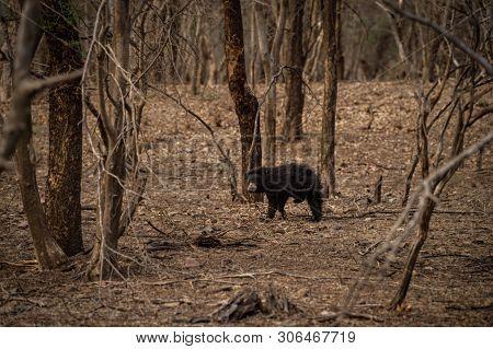 Sloth Bear Or Melursus Ursinus Walking On The Road Ranthambore National Park, Rajasthan, India, Asia