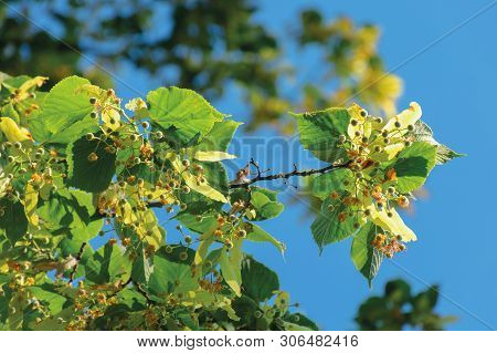 Branches Of The Linden Tree. Nature Scenery In Summer. Blue Sky Blurred On The Background. Green Fol