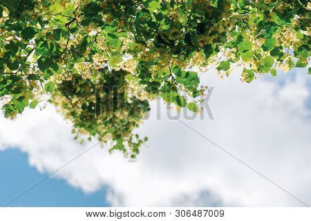 Twigs Of Linden Tree In Blossom. Beautiful Nature Scenery In Summertime. Sky With Clouds Blurred In