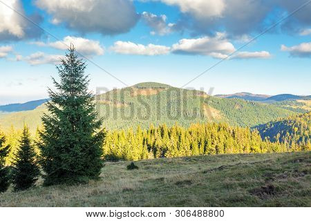 Spruce Forest On The Edge Of A Hill. Stunning Landscape Of Apuseni Natural Park Of Romania. Sunny Af