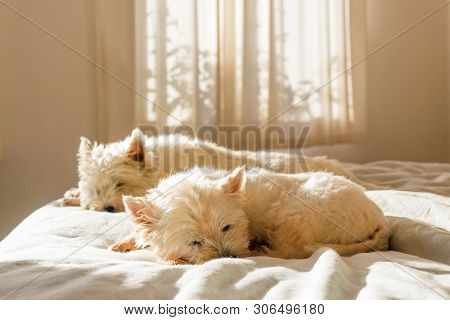 Pet Friendly Accommodation: Lazy Cute West Highland White Terrier Westie Dogs Having Morning Sleep I
