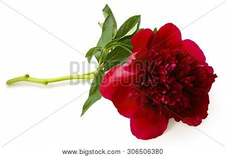 Terry Purple Flower Peony Isolated On White