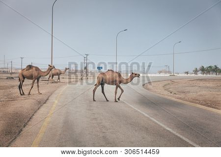 Herd of wild camels is crossing the road near Salalah, Oman