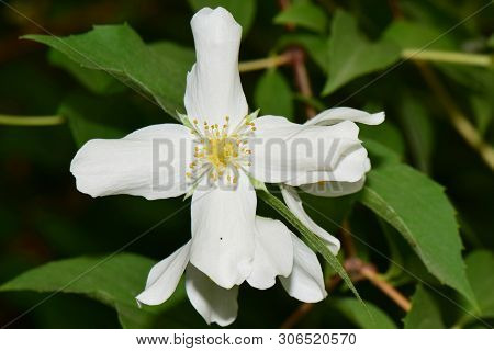 Macro Of White Spring Jasmine Jasminum Officinale With White Petals Growing In The Foothills Of The