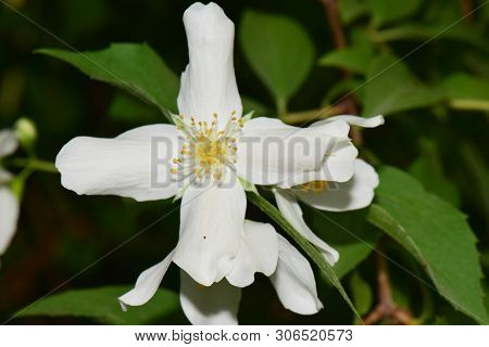 Macro Of White Jasmine Inflorescence Of Jasminum Officinale With White Petals Growing In The Foothil