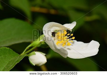 Close-up Of A Small Bee Macropis Fulvipes In A White Jasmine Flower Jasminum Officinale Growing In T