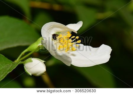 Close-up Of A Small Bee Macropis Fulvipes Jasmine Jasminum Officinale Sleeping In A White Flower In