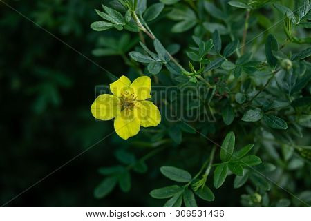 Blooming Shrubby Cinquefoil In Summer Forest, Finland