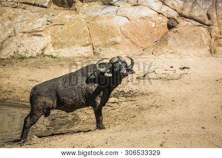 African Buffalo On Sandy Riverside In Kruger National Park, South Africa ; Specie Syncerus Caffer Fa