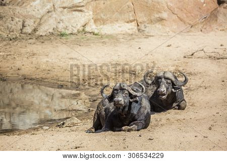 Two African Buffalo Bull Lying Down In Kruger National Park, South Africa ; Specie Syncerus Caffer F
