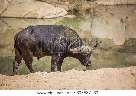 African Buffalo Ruminating On River Bank In Kruger National Park, South Africa ; Specie Syncerus Caf