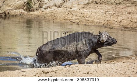 African Buffalo Running Out Of Waterhole In Kruger National Park, South Africa ; Specie Syncerus Caf