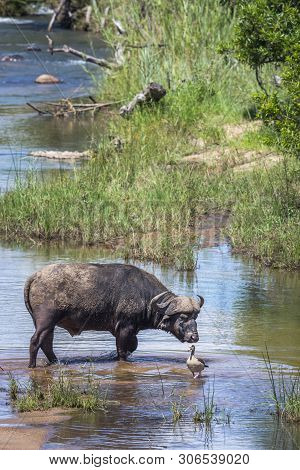 African Buffalo Bull Crossing A River In Kruger National Park, South Africa ; Specie Syncerus Caffer