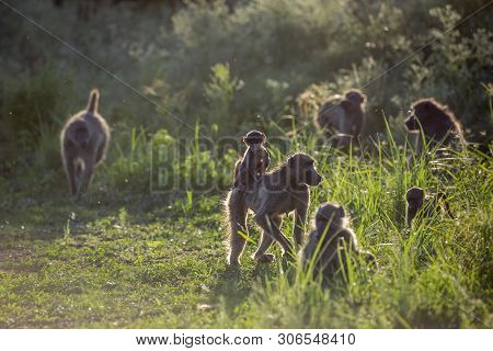 Small Group Of Chacma Baboon In Backlit In Kruger National Park, South Africa ; Specie Papio Ursinus
