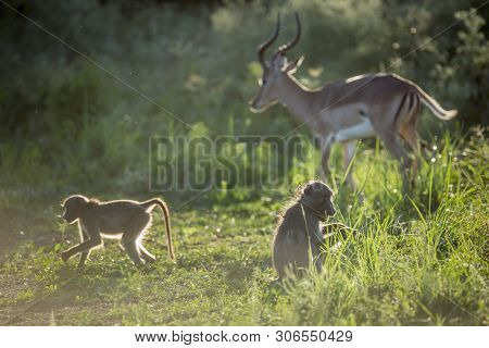Chacma Baboon And Impala In Kruger National Park, South Africa ; Specie Papio Ursinus Family Of Cerc