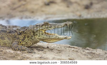 Profile Of Nile Crocodile Mouth Open On Riverbank In Kruger National Park, South Africa ; Specie Cro