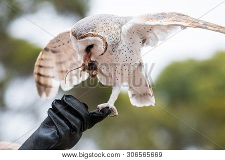 Cute barn owl, Tyto alba, with large eyes sitting on the leather glove caught a mouse and eats her. Owl hunter with a mouse in a beak. poster