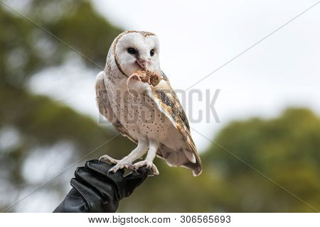 poster of Cute barn owl, Tyto alba, with large eyes sitting on the leather glove caught a mouse and eats her. Owl hunter with a mouse in a beak.