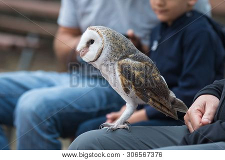 poster of Cute barn owl, Tyto alba, with large eyes and face looks like a heart sitting on a lap of its owner in blue jeans. Tame owl