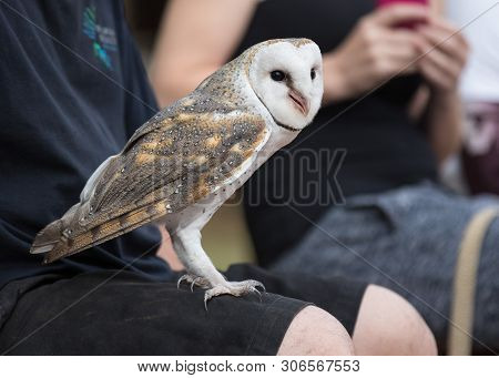 poster of Cute barn owl, Tyto alba, with large eyes and face looks like a heart sitting on a lap of its owner. Tame owl