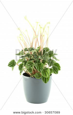Close-up of the plant in a pot. Peperomia. Isolated on white background poster