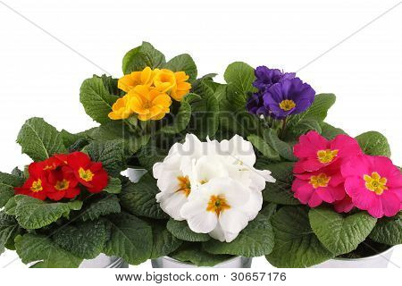 Close-up many Primrose potted plants. Isolated on white background poster