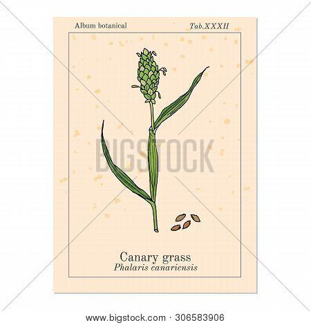 Canary Grass Phalaris Canariensis , Medicinal Plant. Hand Drawn Botanical Vector Illustration