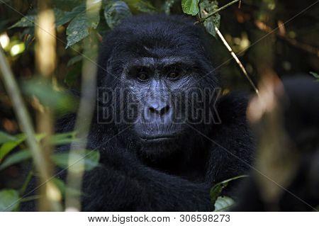 Eye Contact With A Mountain Gorilla (gorilla Beringei Beringei). Bwindi Impenetrable National Park,