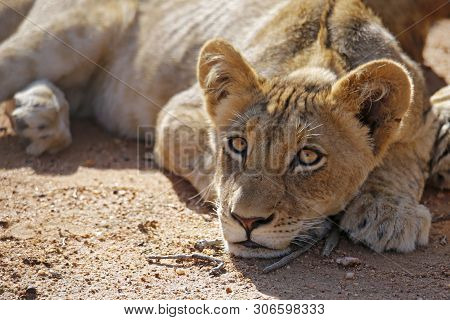 Lion Cub Lying On The Ground, Looking Into The Camera. Balule Nature Reserve, Kruger Park, South Afr
