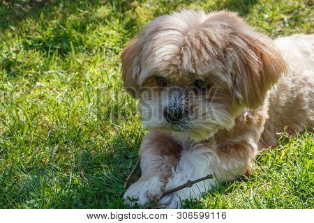 Ginger Lhasa Apso Dog Lying In The Grass Of A Garden